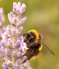 Bee on Lavender: A fuzzy bumblebee collecting pollen from lavender.