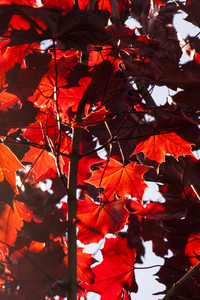 Maple Leaves: Sunlight through Norwegian maple leaves.