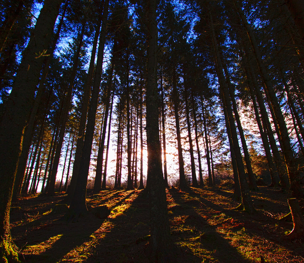 Beacon Fell: Fir trees at sunset.  Beacon Fell, Lancashire.