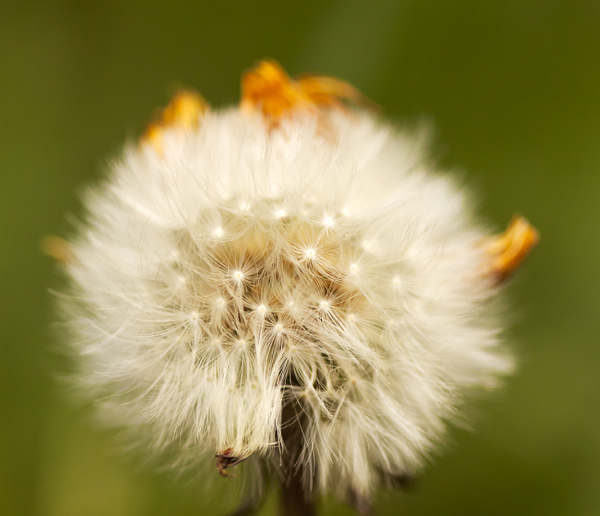 Dandelion Close-up 2: A dandelion clock still shedding its petals.