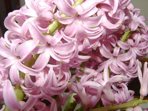 Hyacinth: Believe it or not, spring is coming