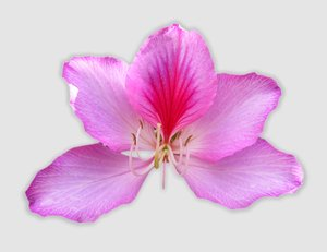 Pink Bauhinia - Tree Orchid: A pink bauhinia flower against a white background.