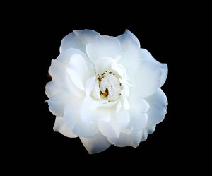 White Rose on Black: A beautiful white rose isolated on a black background. Easy to add more copyspace. You may prefer this:  http://www.rgbstock.com/photo/mWLYNVy/Rose+on+Black  or this:  http://www.rgbstock.com/photo/mikJqII/Abstract+Rose+3