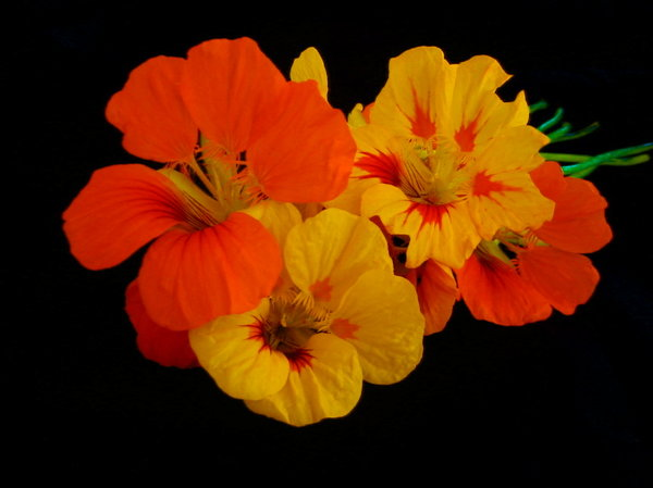 Nasturtiums 4: Colourful nasturtiums on a black background. You may like:  http://www.rgbstock.com/photo/preJMIG/Grunge+Flower+9  or:  http://www.rgbstock.com/photo/2dyV7l8/Blue+Flower+Scurvy+Weed