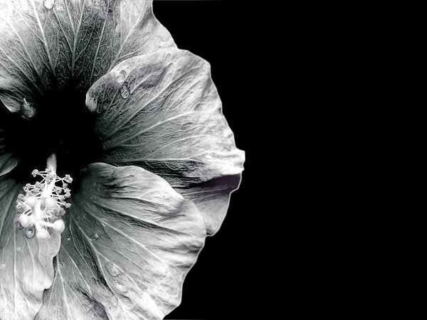 Hibiscus - Monotone: A beautiful black and white image of a hibiscus. You may prefer:  http://www.rgbstock.com/photo/2dyVtLx/Red+Hibiscus+2+-+Duotone  or:  http://www.rgbstock.com/photo/2dyVTby/Hibiscus+Border+1  or:  http://www.rgbstock.com/photo/dKTock/Hibiscus+Border+5
