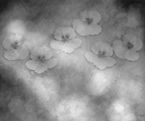 Nasturtium Abstract 9: A grungy abstract, arty image of  nasturtiums  on black and white with a texture of leaves and a light pattern. You may prefer:  http://www.rgbstock.com/photo/n6cBw84/Nasturtium+Abstract+5  or:  http://www.rgbstock.com/photo/n49wWG4/Nasturtium+Abstract+1