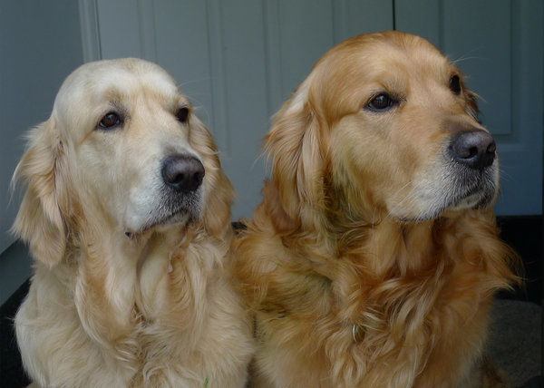 Friends: Two golden retrievers.