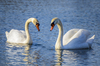 Swan couple: White swan couple