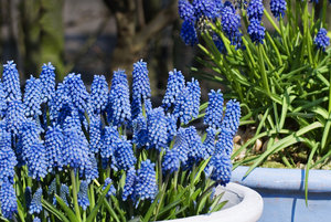 Blue grape hyacinths: Blue spring grape hyacinths