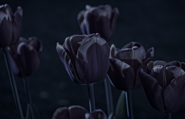 Tulips by moonlight: Backlit tulips in a garden in England, with a night filter.
