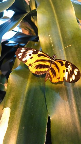 Petit Papillon Jaune: This is a little yellow and black butterfly in the butterfly room at the Milwaukee Public History Museum.