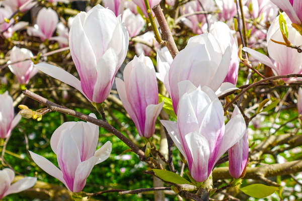 magnolia blossoms closeup