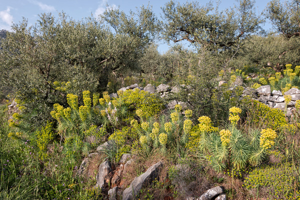 Spurge and olive orchards