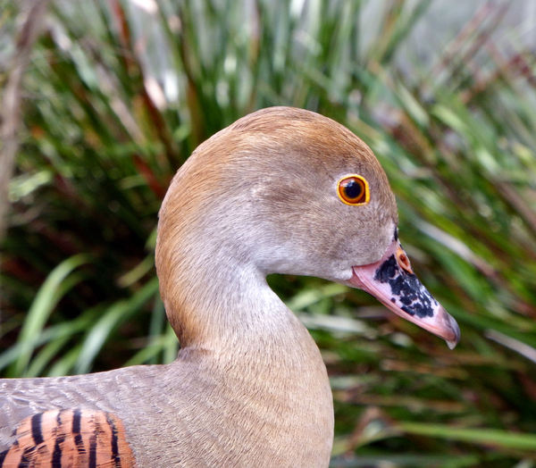 suave & decorative duck1: the very decorative wild Australian plumed whistling duck - bright eyed
