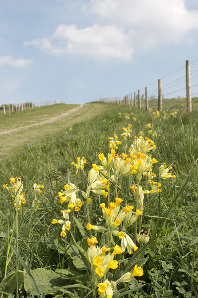 Wild cowslips