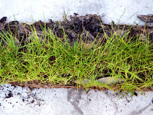 strip of grass in mulch2