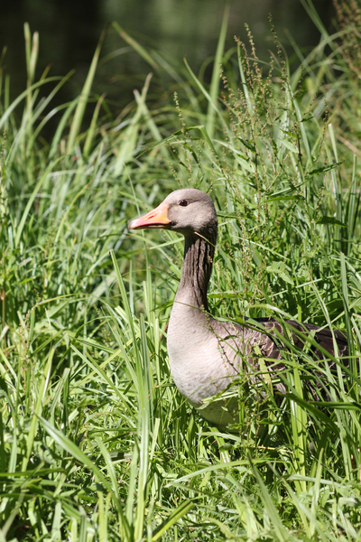 Goose in Grass: Let's play hide and seek ;)