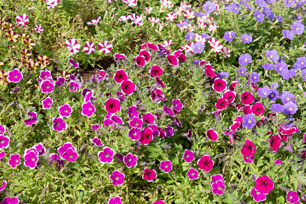 Summer flowers: Petunias and some mauve geraniums in a flower border in a garden in Surrey, England.