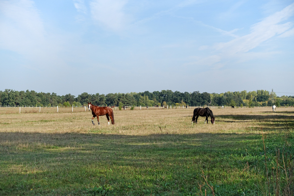 horses on grazing land