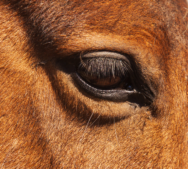 Horse Close-up 2: Close-up of a horse's eye.