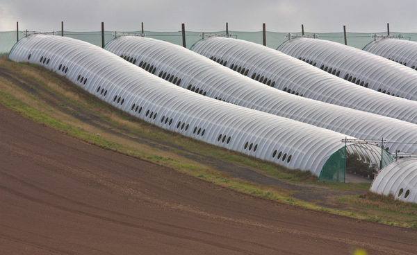 Poly tunnel farming: Intensive farming under plastic poly tunnels in Fife, Scotland. Typically used for soft fruit.