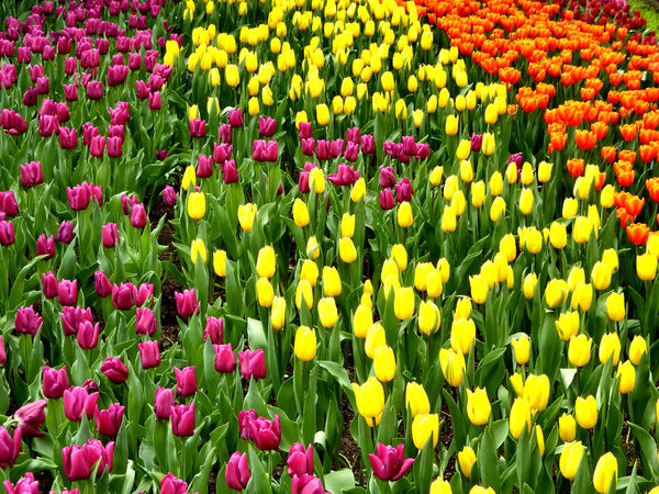 flower dome tulip display21