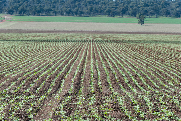 agriculture: a healthy young canola crop in rural paddock