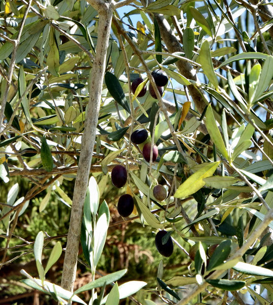 olives color & foliage2: olives ripening on olive tree