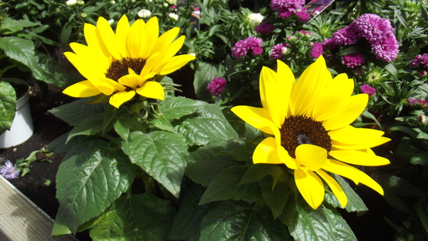 Helianthus 'Sun Sensation': no description