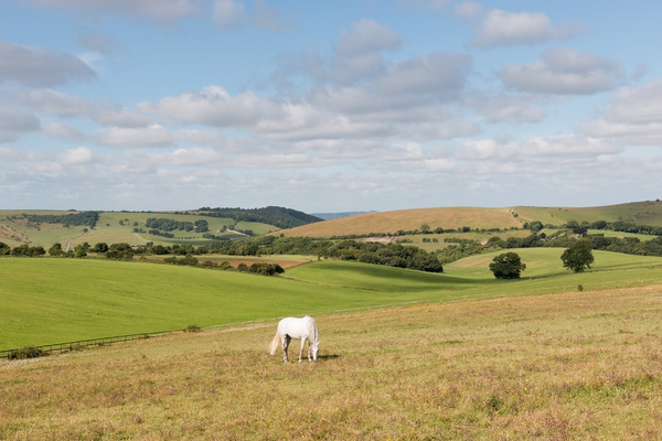 Landscape with white horse: Farm landscape on the South Downs, East Sussex, England, in summer.