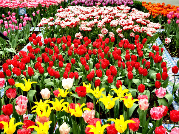 flower dome tulip display28