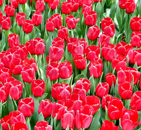 flower dome tulip display38