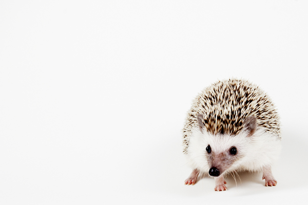 Pygmy Hedgehog