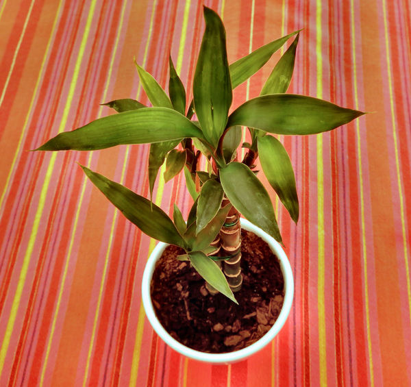 potted lucky bamboo2