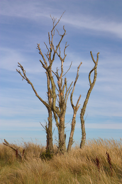 Bare Beach Tree