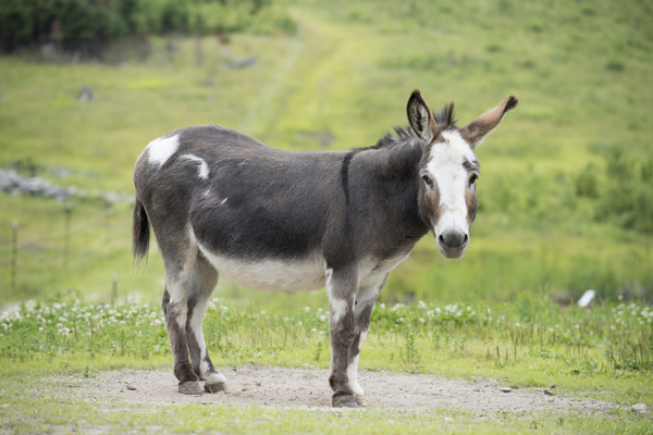 Donkey: Donkey standing on farm road