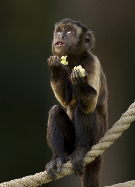 Small monkey praying
