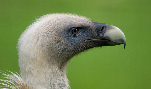 Griffon Vulture head
