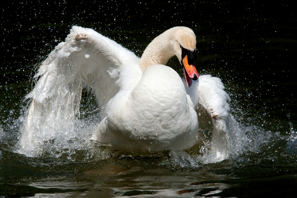 White swan splashing