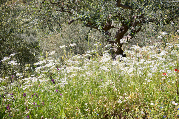 Wild umbellifer flowers: Wild spring flowers, mainly umbellifers, in southern Greece.