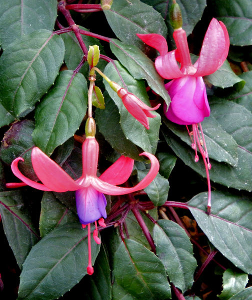 fuchsia features1