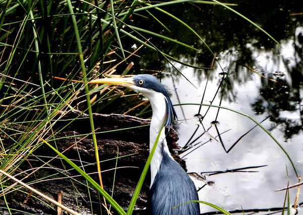 sharp eyed heron1