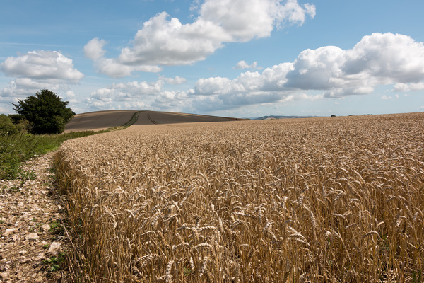 Ripe wheat crop