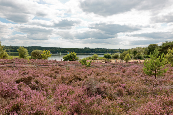 Frensham Common and Great Pond