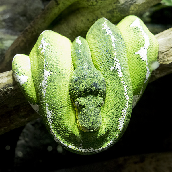 Emerald tree boa: An emerald tree boa (Corallus caninus) in a zoo in England at which photography was freely permitted.