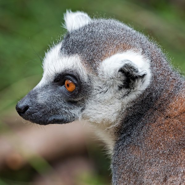 Ring-tailed lemur: A ring-tailed lemur (Lemur catta) at a zoo in England at which photography was freely permitted.