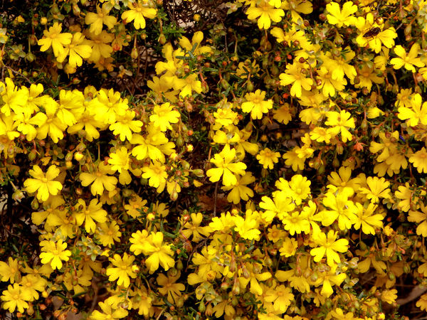 carpet of yellow bush flowers: abundance of yellow bushland wildflowers