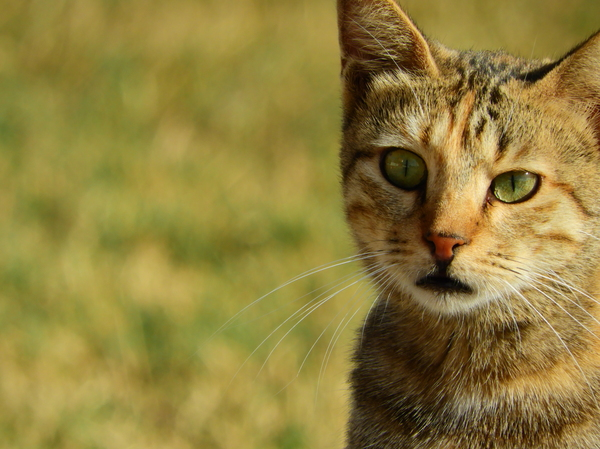 Wild Cat with Green eyes: a Wild cat with green eyes was playing on the grass near the beach with other cats and super telephoto Nikon lens was used to capture his portrait very close