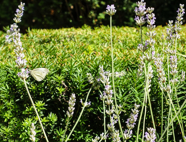 lavender blossoms: lavender - Lavandula angustifolia - is very tasty for bees and butterflys