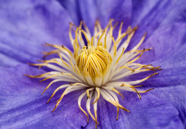 In My Garden 5: Blue clematis close-up.